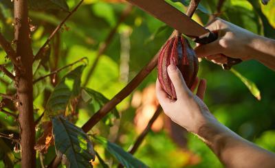 Fundación Luker apoya a los cacaoteros